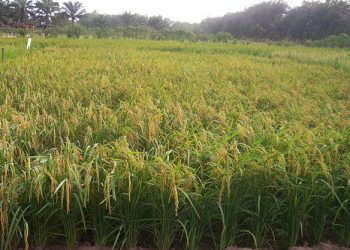 A Hybrid Rice field. AATF researchers have created varieties that will be more profiable for African farmers.