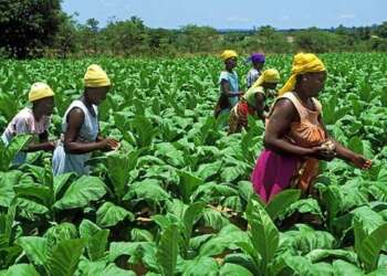 Tobacco farming in Tanzania- Corporate Digest- The Exchange