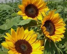 Sunflower (Harris Seeds)- The Exchange